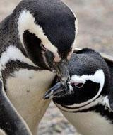 企鹅冰雪节|企鹅出租|活体企鹅租赁